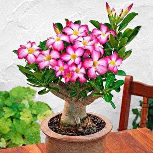 Adenium obesum rosa em vaso de cerãmica33