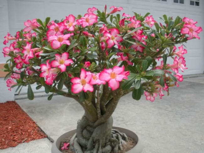 Rosa do deserto rosa em vaso de cimento36