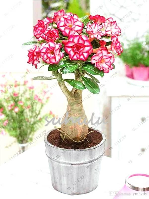 Adenium obesum rosa em vaso32