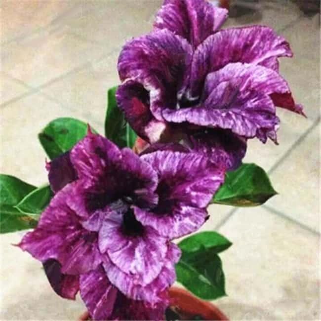 Adenium obesum roxa em vaso pequeno42