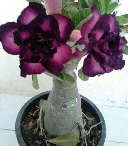 Rosa do deserto roxa38