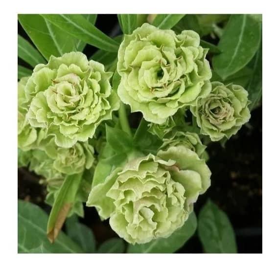 Rosa do deserto verde50