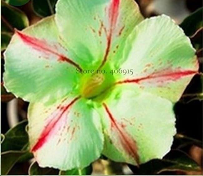 Adenium obesum verde51