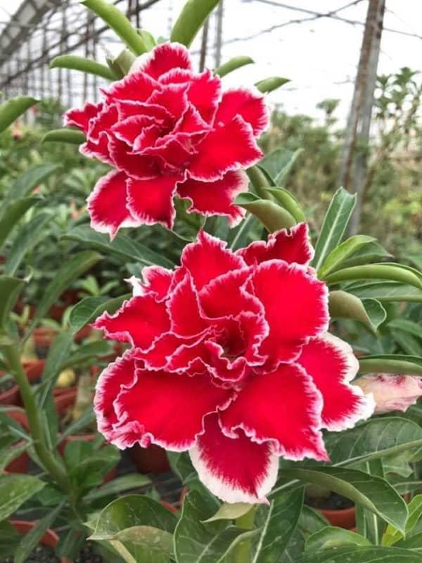 Rosa do deserto vermelha e branca22