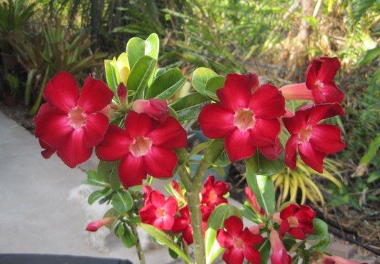 Rosa do deserto vermelha em jardim externo25