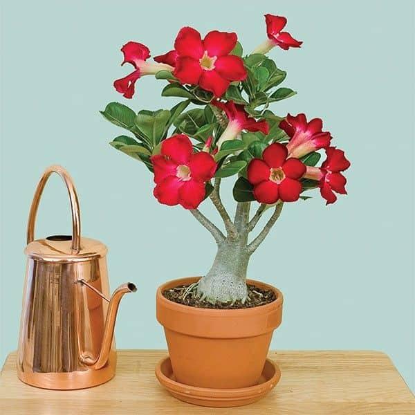 Rosa do deserto vermelha em vaso de barro20