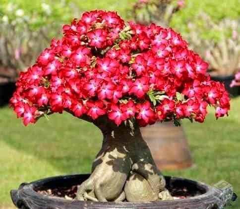 Rosa do deserto vermelha em vaso grande56