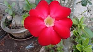 Rosa do deserto vermelha24