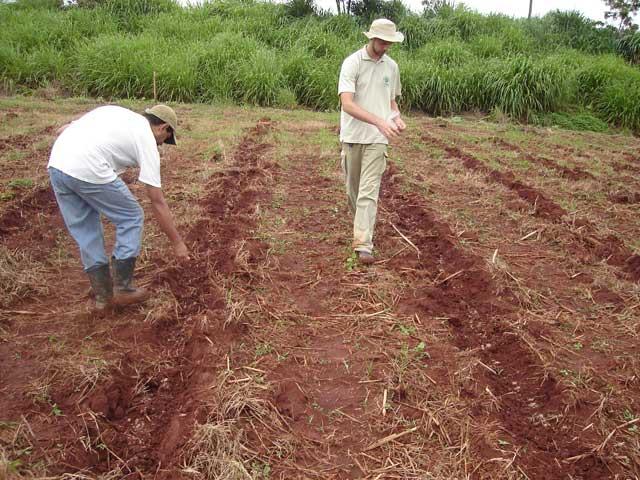 como plantar café