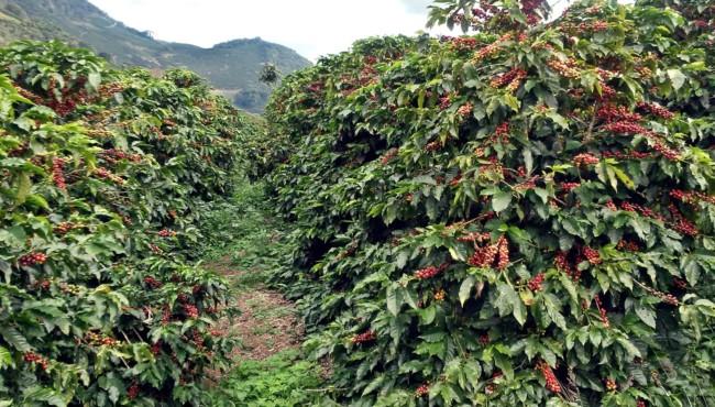 cuidados com plantação de café