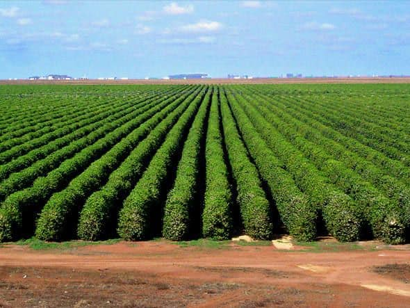 grande plantação de café