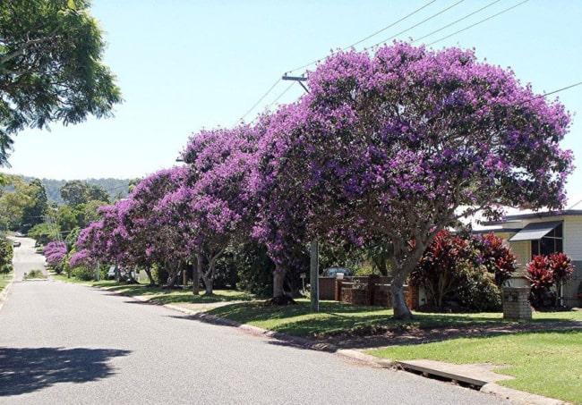 árvores de quaresmeira na calçada
