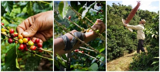 colheita manual de café