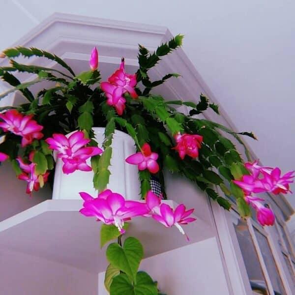 A flor de maio possui uma combinação de cores interessantes trazendo beleza e charme para decoração do lar