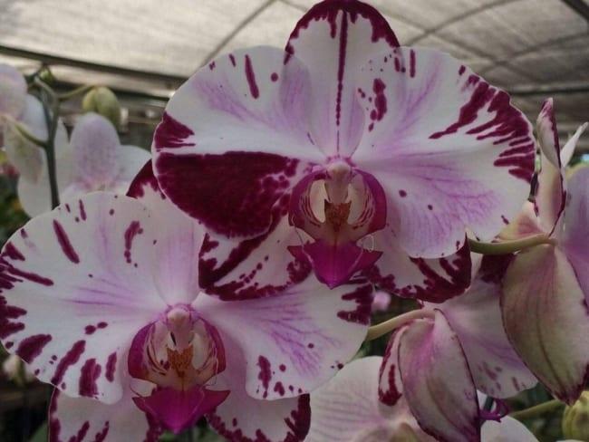 A orquídea borboleta é uma das minhas lindas flores de plantas de sombra