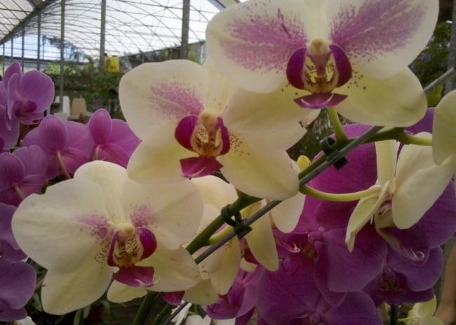 A orquídea trará uma decoração especialao lar
