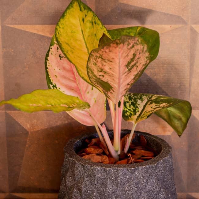 Aglaonema é uma das belas opções de plantas de sombra