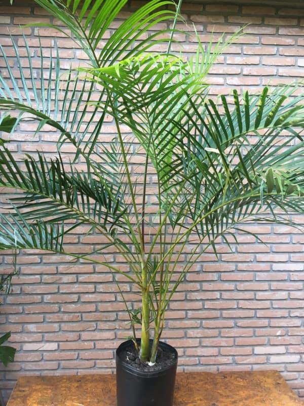Areca bambu é muito popular em escritórios por exemplo