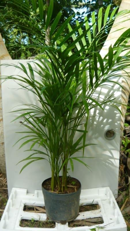 Areca bambu é uma das plantas de sombra mais populares do planeta