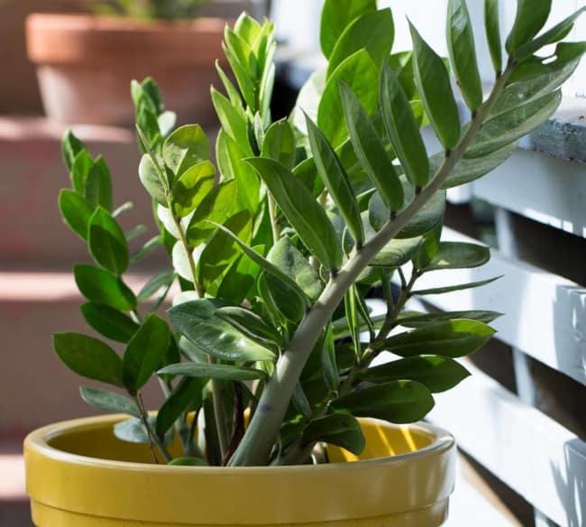 As Zamioculcas chamam atenção pela beleza das suas folhas verde brilhante