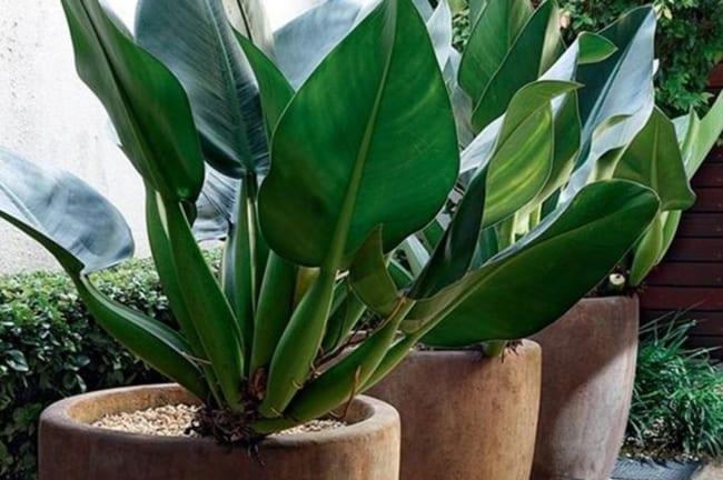 As lindas folhas da babosa de pau chamam a atenção