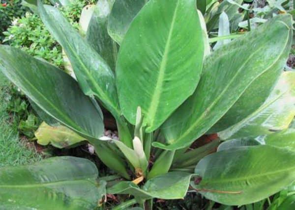 Babosa de pau ou pacova é uma das plantas de sombra que não precisam de muita manutenção