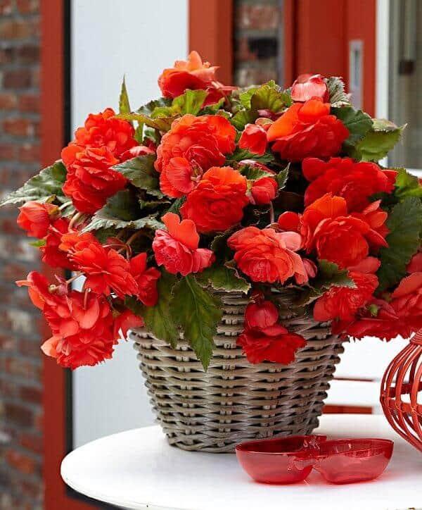 Begônia vermelha linda para decoração