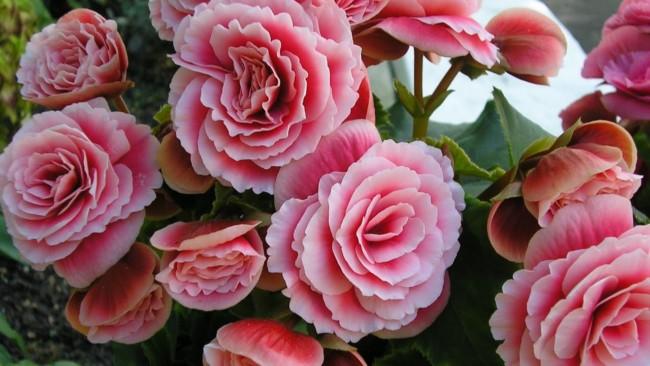 Begônias cor de rosa dão um charme especial ao lar
