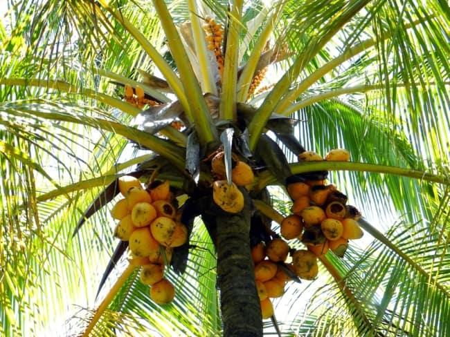 Coqueiro anão com frutos amarelos