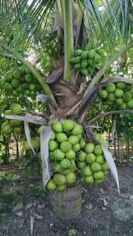 Coqueiro anão com muitos frutos