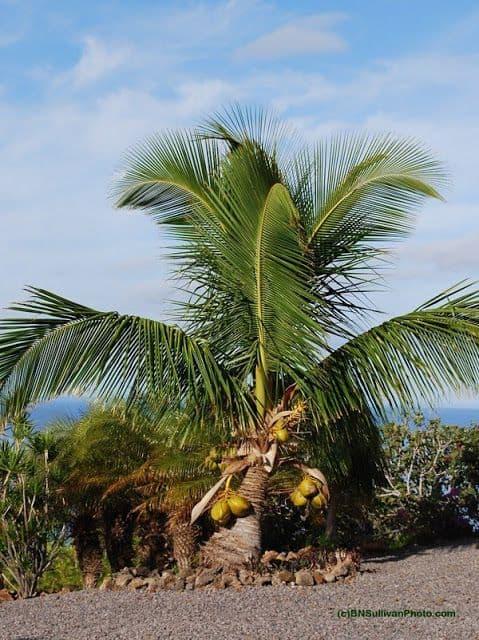 Coqueiro anão são um toque de proximidade da natureza