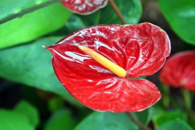 Detalha da flor de artúrios