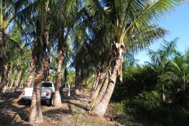 Diversos coqueiros plantados