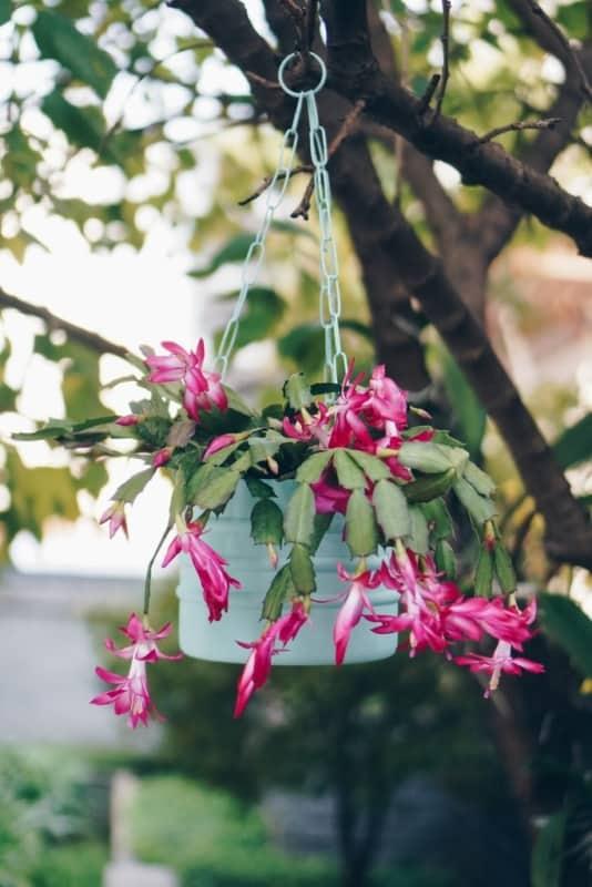 Flor de maio é uma linda opção para plantas de sombra