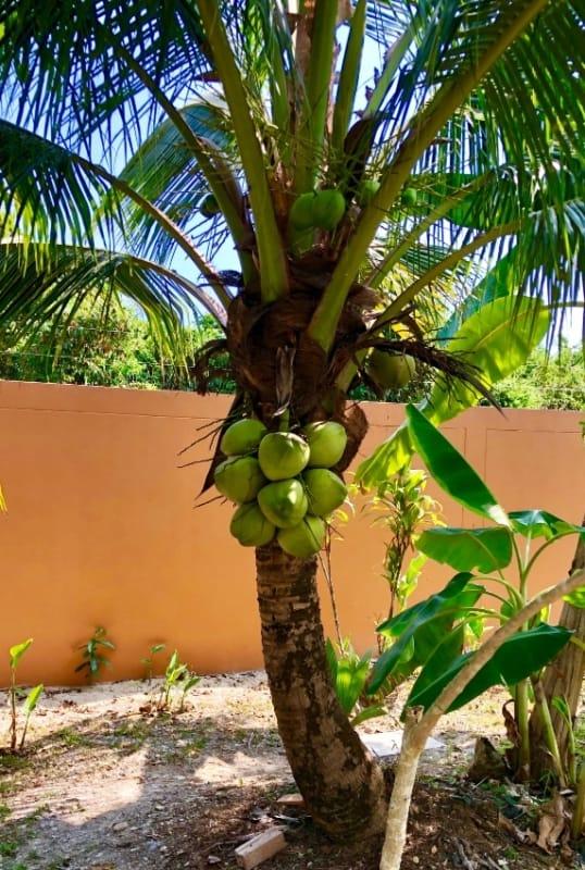 Jardim com coqueiro anão
