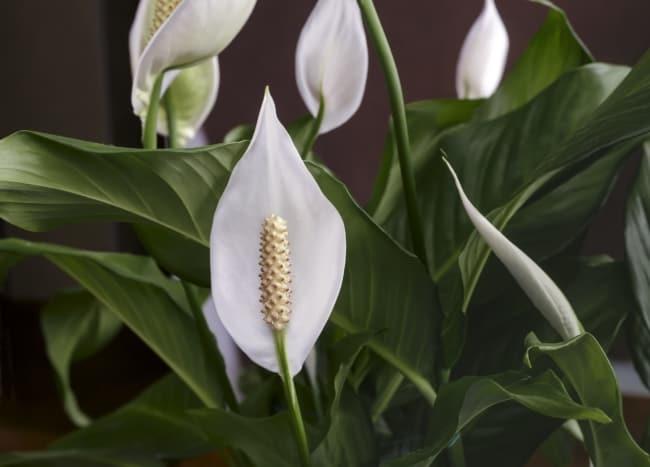 Lírio da paz com flores brancas