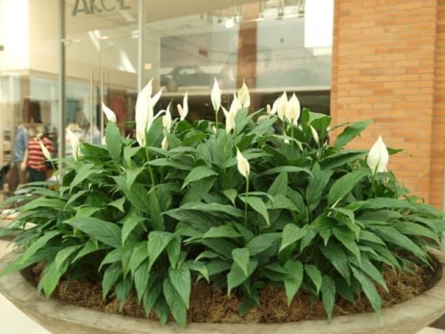 O lírio é uma das plantas de sombras mais tradicionais