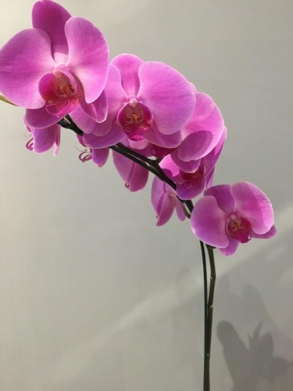 Orquídea borboleta é um planta linda e chama muita atenção