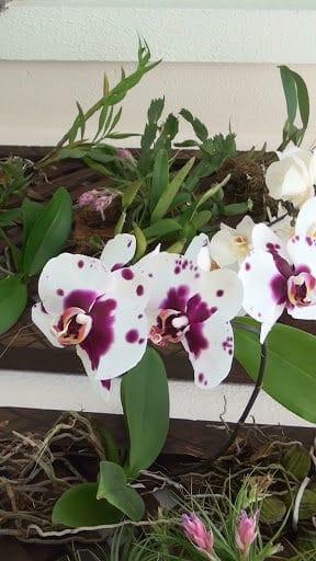 Orquídea borboleta com flores brancas e manchas roxas
