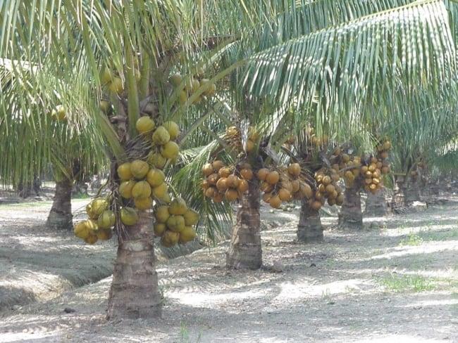 Paisagismo com coqueiro e a sensação de estar perto da natureza