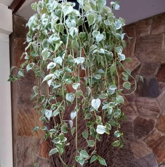 Peperomia combina com jardim vertical além de ser uma das plantas de sombra mais populares do mundo