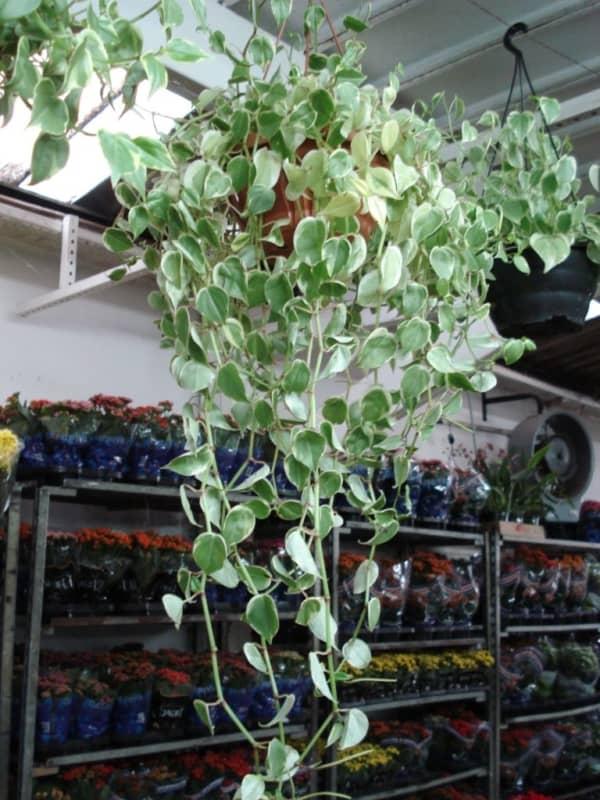 Peperonia pendente enriquecendo a decoração do lar