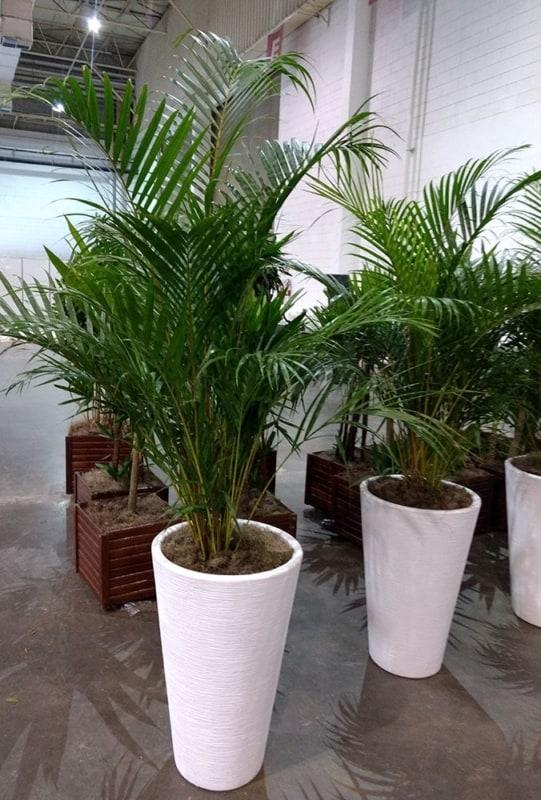 Plantas de sombra para jardim como é o caso da areca bambu