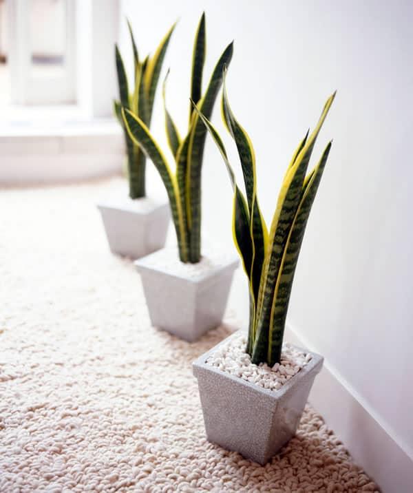Podem ser usadas na decoração de escritórios por se tratarem de plantas de sombra não precisa de muita manutenção