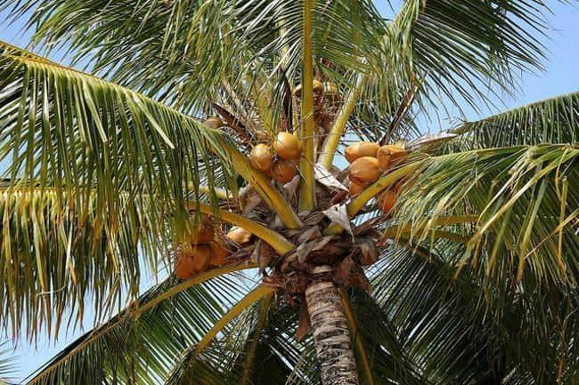 Vista de baixo do coqueiro