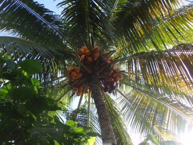 Vista do coqueiro anão de baixo