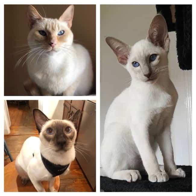 características dos Gatos Siameses