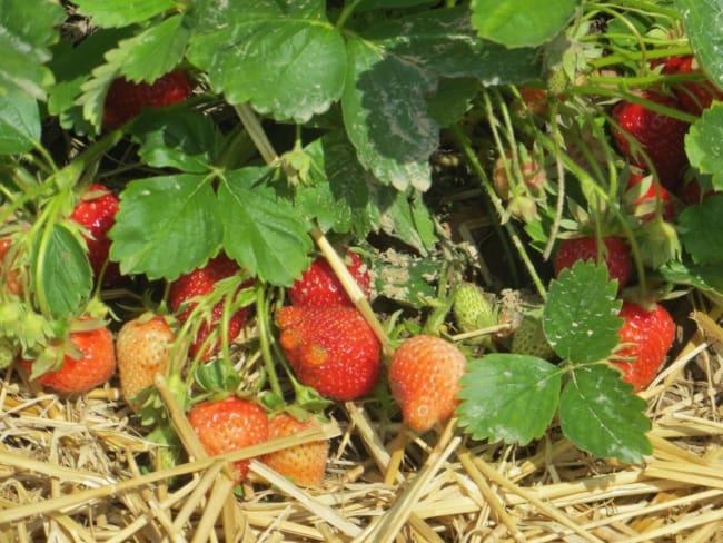 como plantar morango em casa