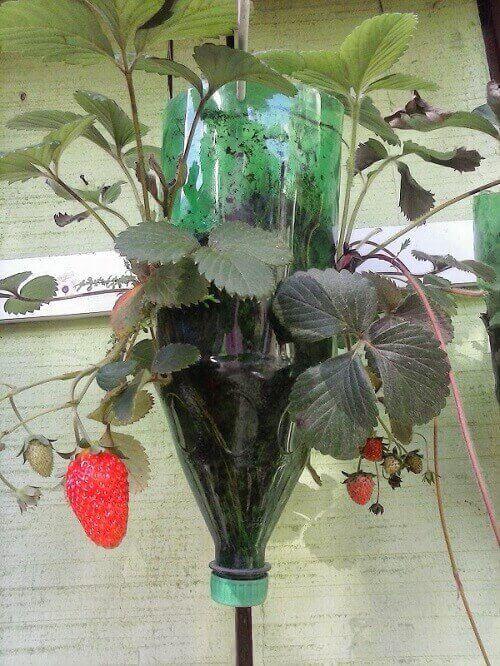 como plantar morango em garrafa