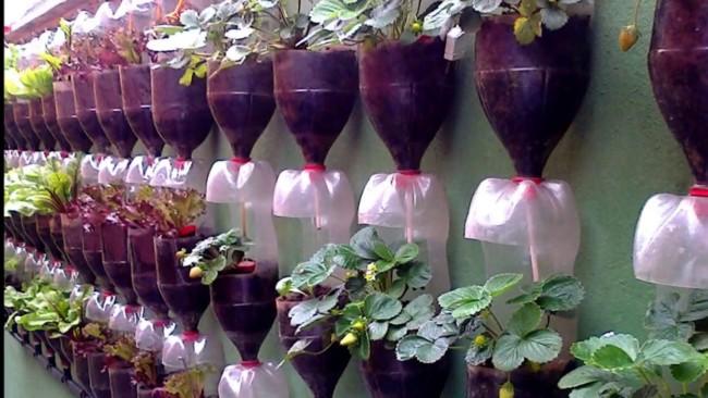 como plantar morango em garrafas